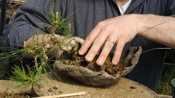 Como cultivar um bonsai for Como cultivar bonsais